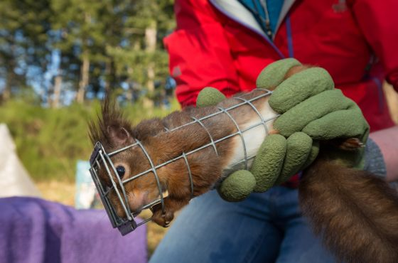 translocating-red-squirrel-conservation-story-8