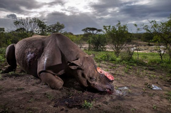 Memorial to a species © Brent Stirton – Wildlife Photographer of the Year