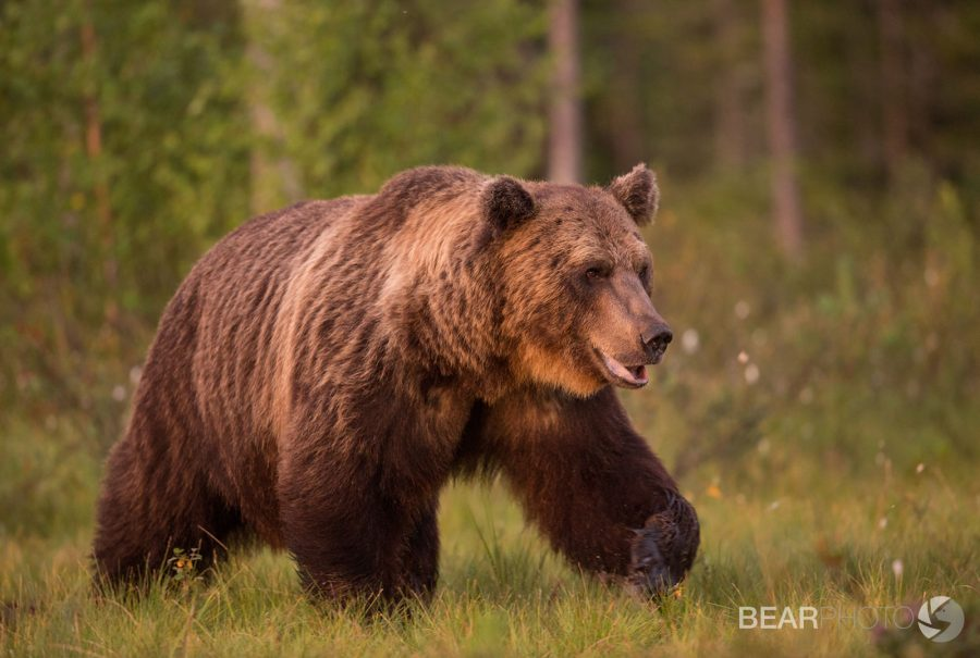 photographing the brown bears of finland nature ttl