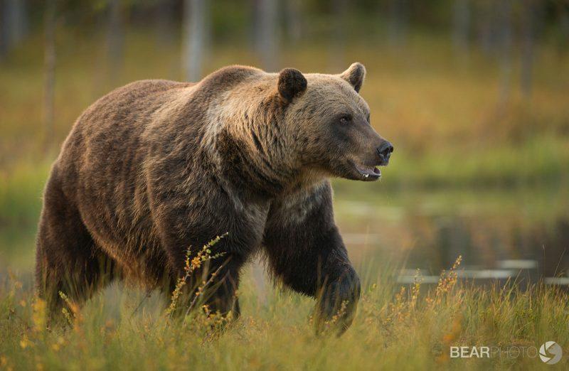 bear tours Finland