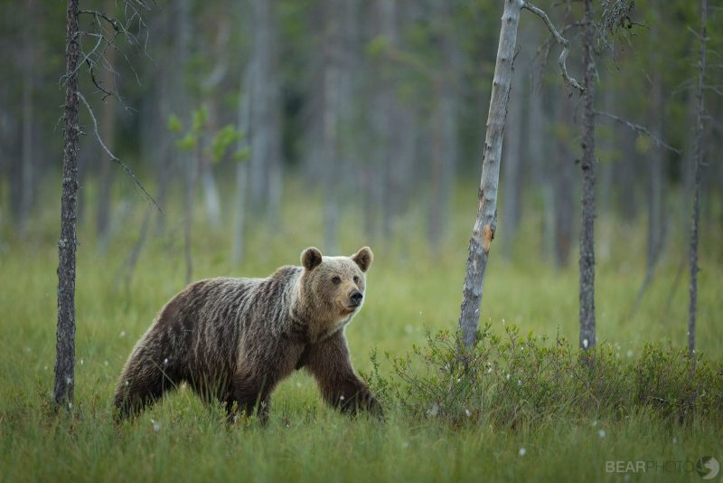 bearphoto tours Finland