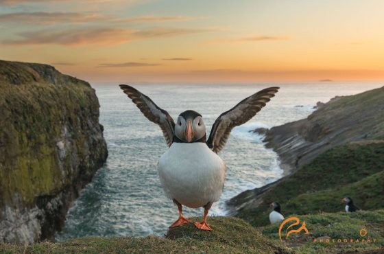 skomer island puffin at sunset