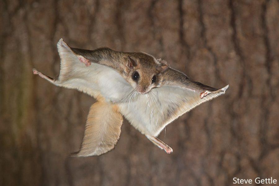 Photographer Captures Amazing Flying Squirrels in Action ...