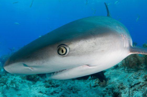 tiger-shark4