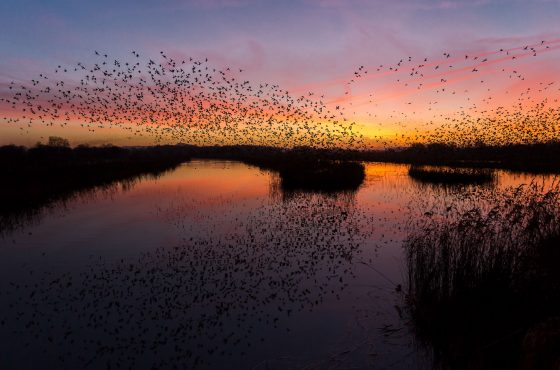 how where when yo photography starling murmurations uk