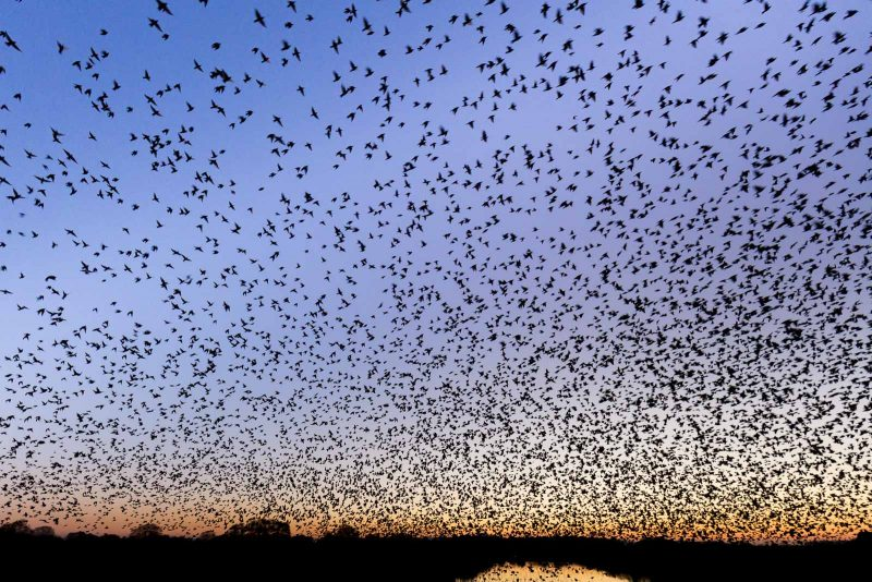how to photograph starling murmurations