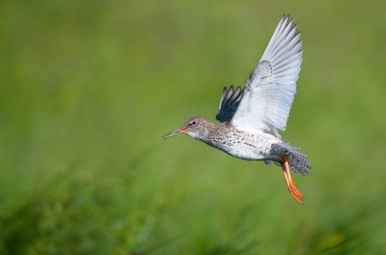 Common redshank, Tringa totanus, North Kent Marshes, June.