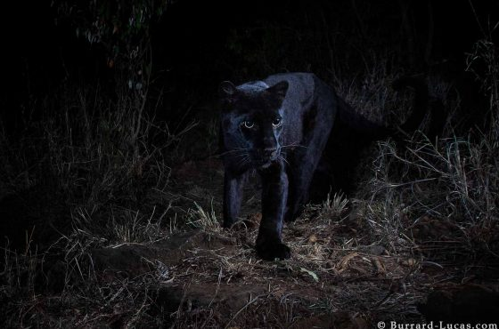 Melanistic Leopard