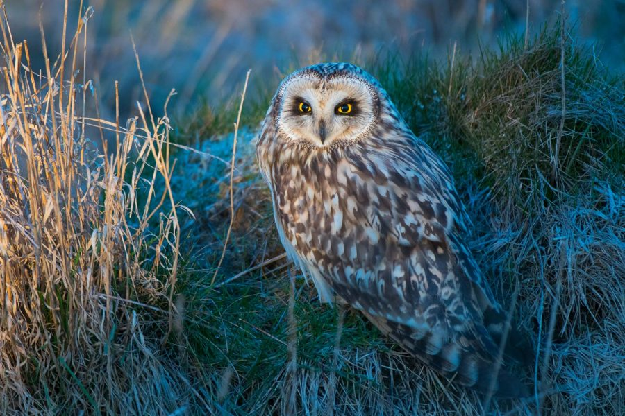 photograph short-eared owls