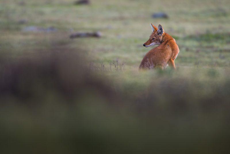 trip report ethiopian wolves