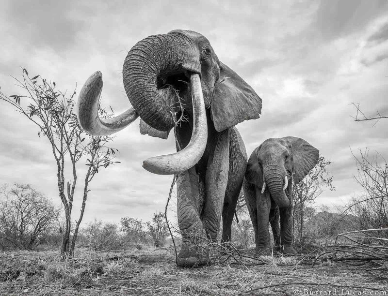 elephant queen will burrard-lucas