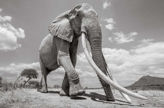 elephant-queen-will-burrard-lucas