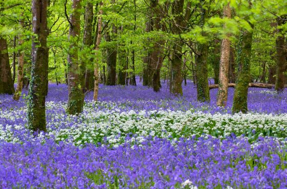 photograph bluebells-11