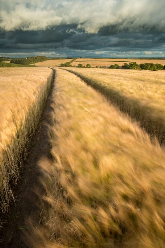 Crops blowing in the wind