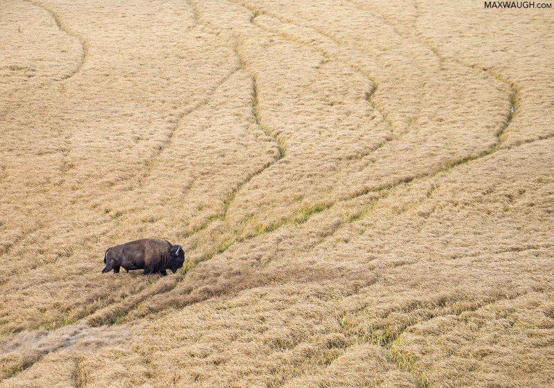 Bison walking through long grass