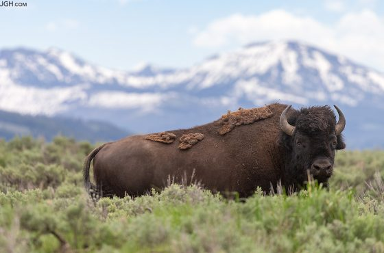 How to Photograph Bison-4