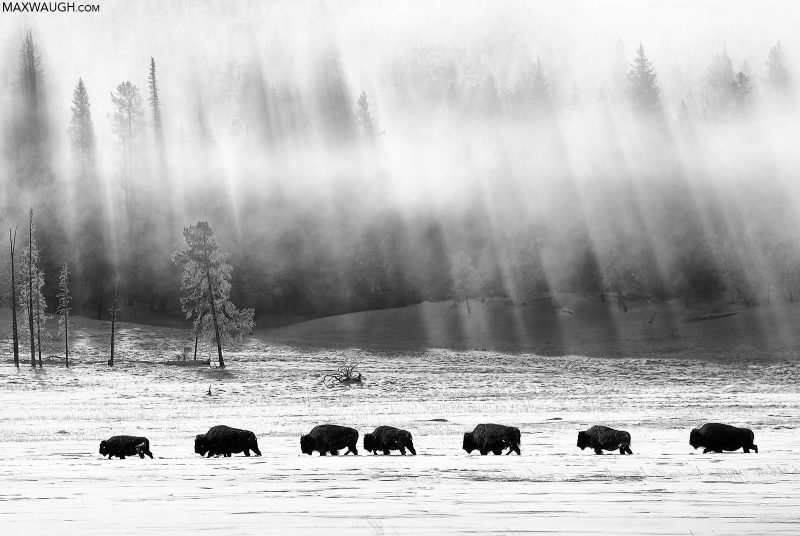 Black and white photo of a heard of bison