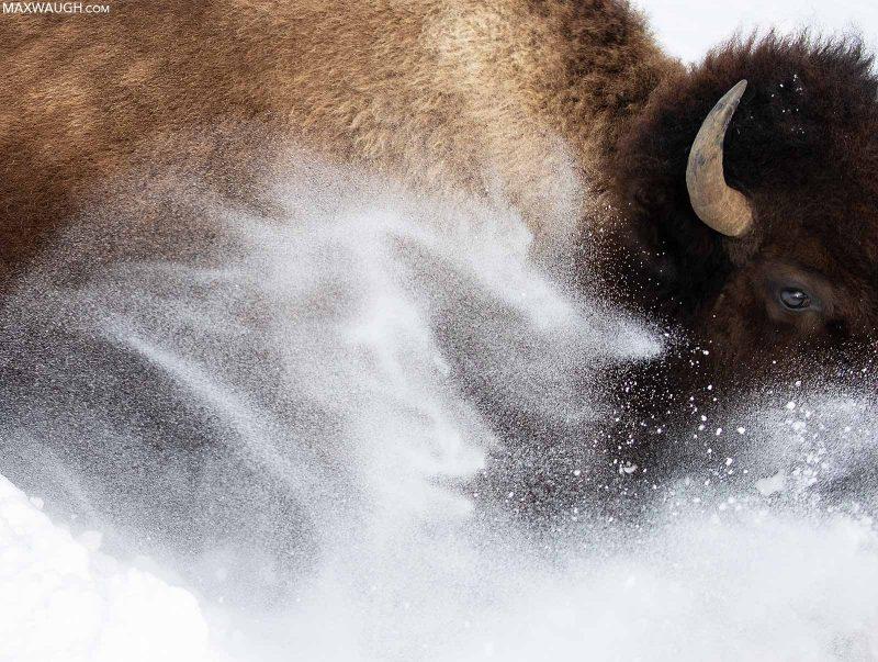Bison running through the snow