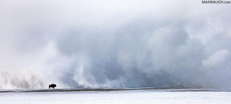 Bison in snowy landscape
