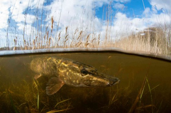 Pike in the reedbeds