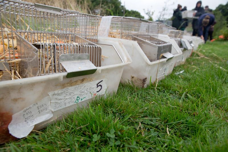 Water voles are taken to the site of the release in cages