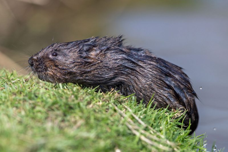 Water vole coming out of water
