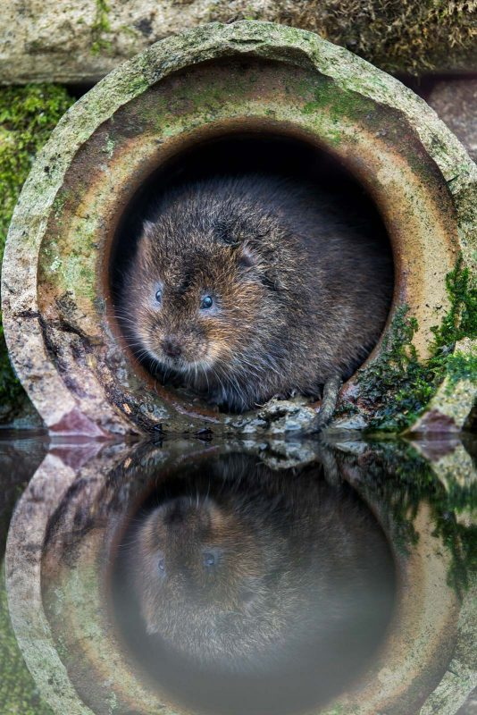 Water vole pipe