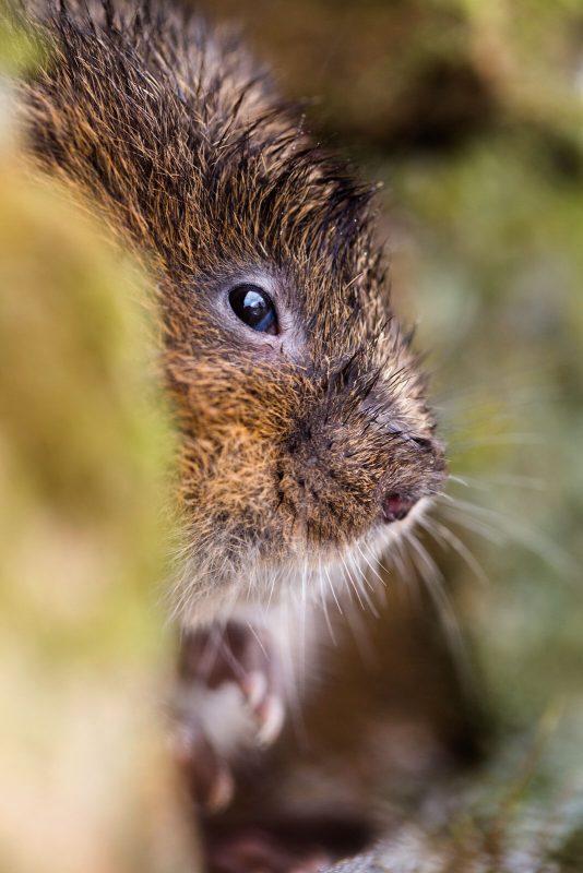 Water vole portrait