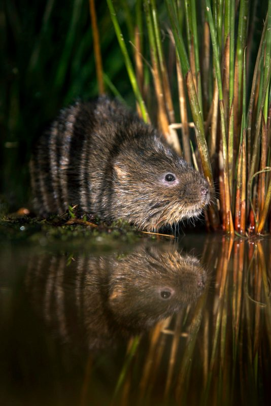 A water vole hides in the rushes