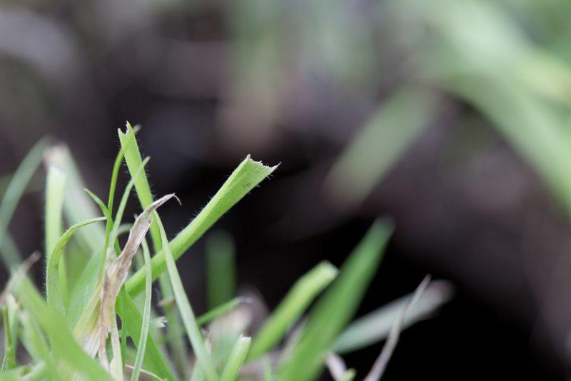 water vole grazing signs