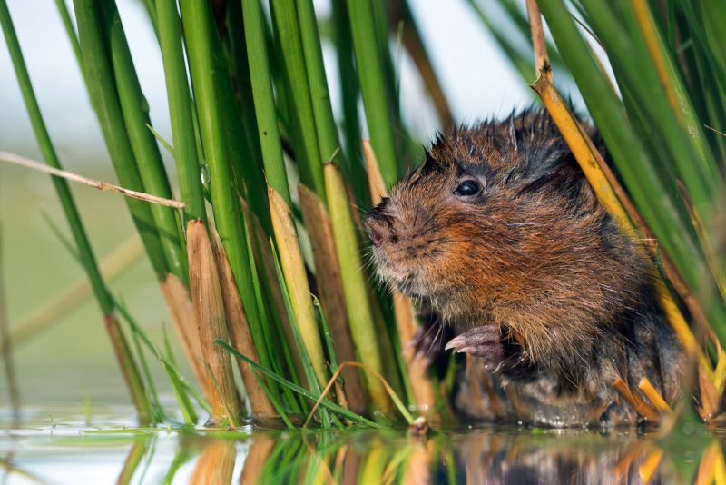 Captive water vole in reeds