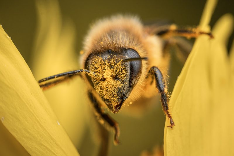 Bee close up with pollen on face
