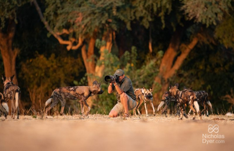 wildlife photographer and african wild dogs
