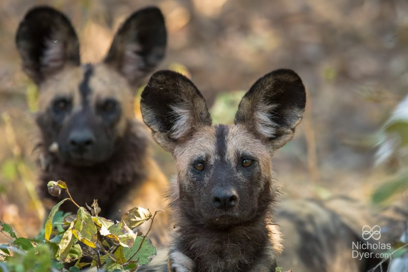 Pair of wild dogs