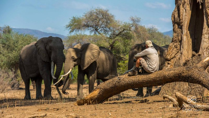 Wildlife photographer sat near wild elephants