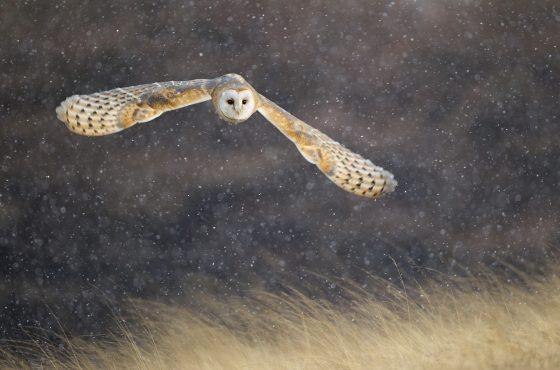 how-to-photograph-barn-owls-backlit-wildlifepphotography-uk-wildlife