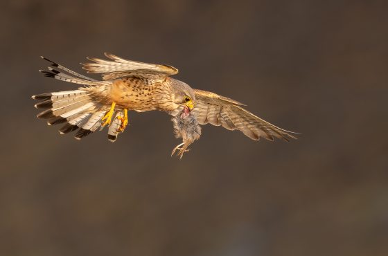 how-to-photograph-kestrel-falcons-tips-fieldcraft-advice -how-to-find-birds-of-prey04