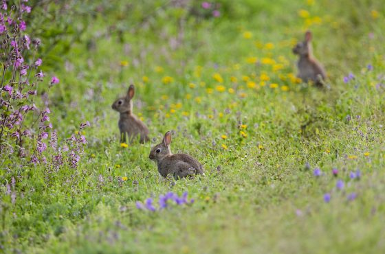 rabbits-in-wildflowers-photography