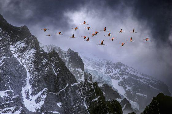 Flamingos-in-flight-over-the-Andes-mountain-range-mountain-bird-photograohy-guide-patagonia-wildlife