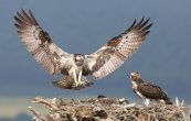 Birds of Prey: How to Find and Photograph Raptors